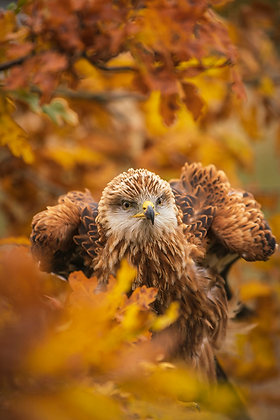 Red Kite, Milvus milvus, surrounded by Autumnal colours of an old oak tree