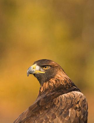 Golden eagle portrait against a glowing golden background.