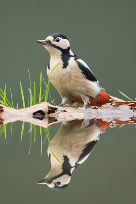 Perfect reflection of Great spotted woodpecker at still pool.