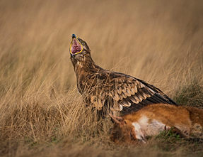 Steppe Eagle with prey