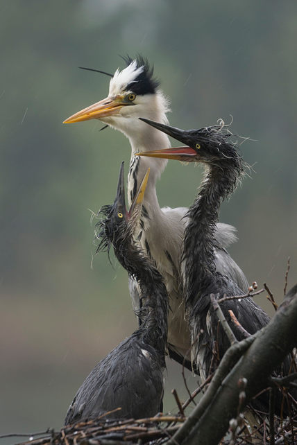 Grey heron and chicks