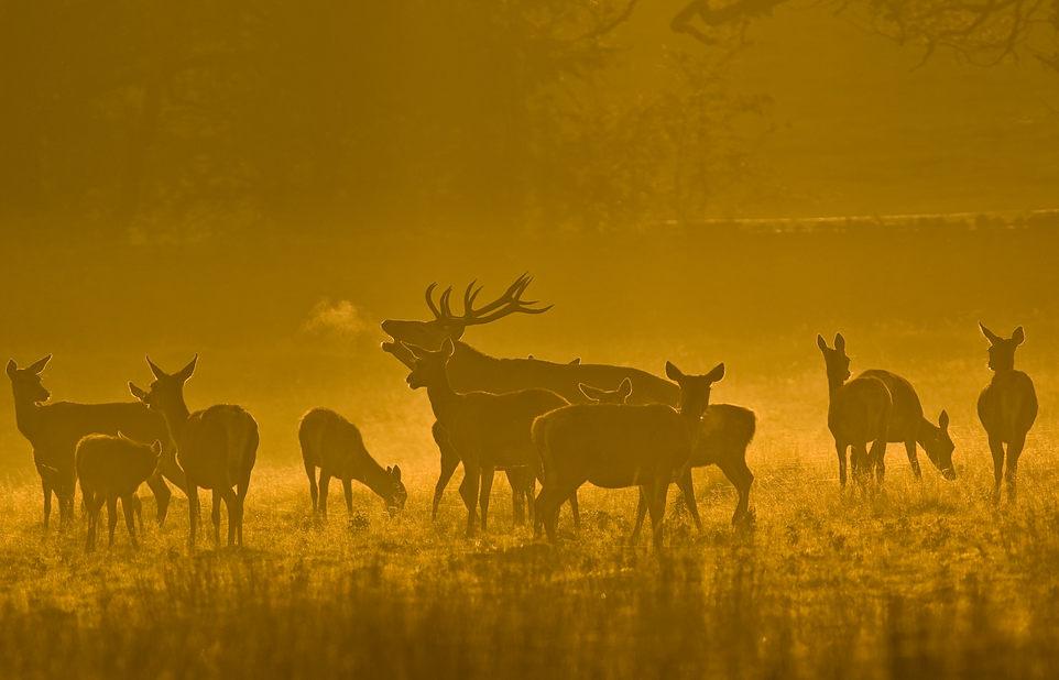 Red Deer ,stag 35000084.jp