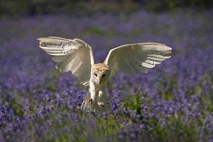 Barn Owl-395-363.jpg