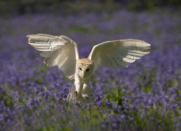 Barn owl in flight over bluebells ,spring in an English woodland