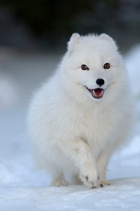 Arctic fox, late winter in Norway, in the snow.
