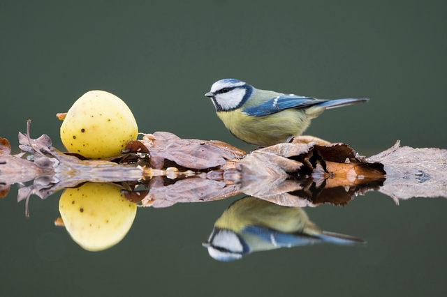 Bluetit, reflection in pool