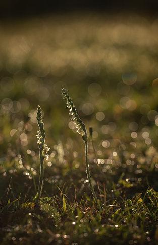 Autumn lady's-tresses, Spiranthes spiralis,
