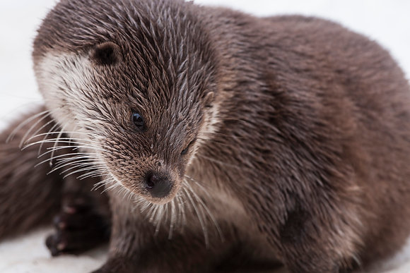 Close crop on an otter in wintertime.