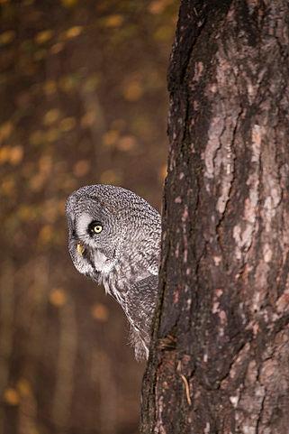 Great Grey Owl,Strix nebulosa,