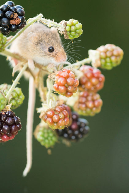 Harvest mouse, Autumn berries