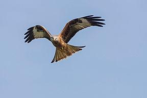 Red kite, Milvus milvus,in a clear blue sky