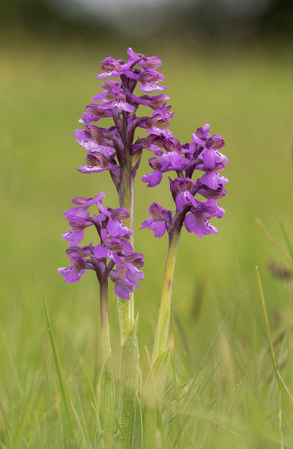 Green winged orchid, spring in oxfordshire