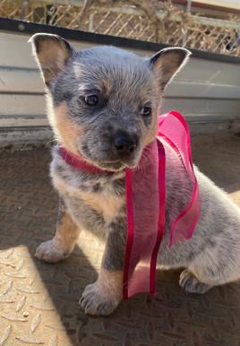 blue heeler puppies for sale