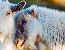 goats-1993649.jpg