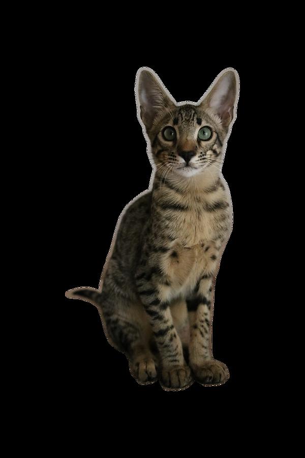 Modish Kot Savannah | Polska | Hodowla kotów Savannah TheCatsAmongUs DS43
