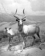 NRiley_Tragelaphus buxtoni (Mountain Nya