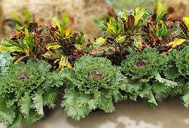ornamental kale-cabbage_153904-x.jpg