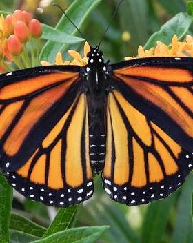 monarch-butterfly-2466541.jpg
