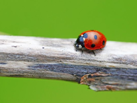 LADYBUG, LADYBUG, DON'T FLY AWAY! HOW TO RELEASE GARDEN LADIES