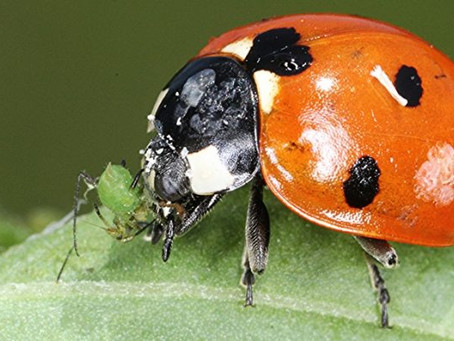 "LADYBUGS DINE ON ""SOFT-BODIED"" INSECTS"