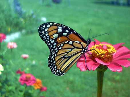 Texas Welcomes Monarch Fall Migration