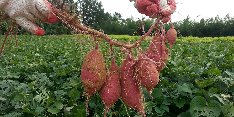 Growing Sweet Potatoes -- Rescheduled from May 22