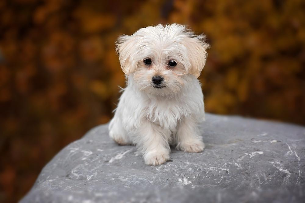Maltese dog sitting on a rock.