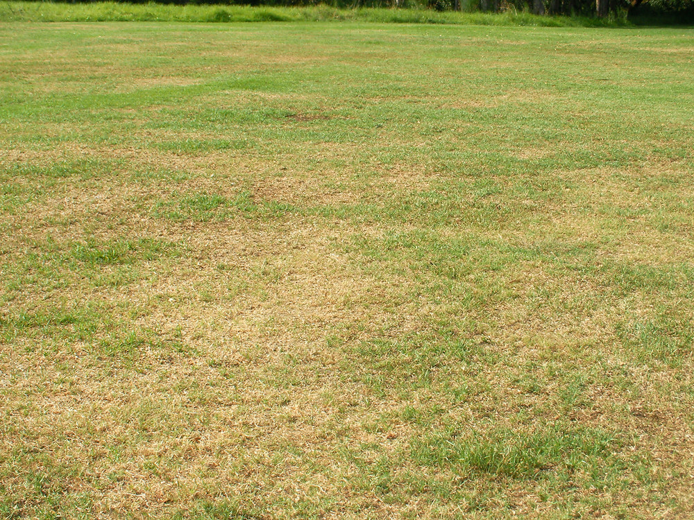 Dead spots like these could be caused by lack of water, Take All Root Rot, or chinch bugs. Here's how to tell the difference.