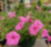 petunia-hanging-basket_101217-x.jpg