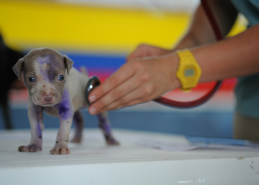 small puppy being examined with a stethiscope