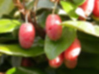 Elaeagnus-fruits.jpg