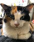Callie - Marshall Grain Co. store cat
