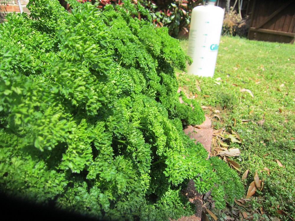 Curly leaf parsley is beautiful as a border in the garden and as a garnish on your plate.