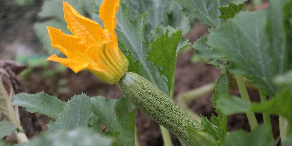 Tangled Vines: Summer Squashes & Cucumbers for North Texas