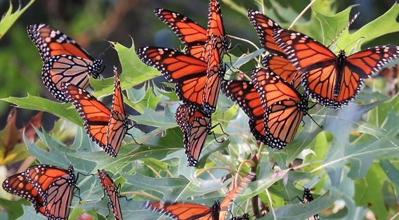 monarch butterflies_37043659021.jpg