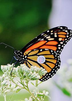 monarch-tagged-3913383.jpg