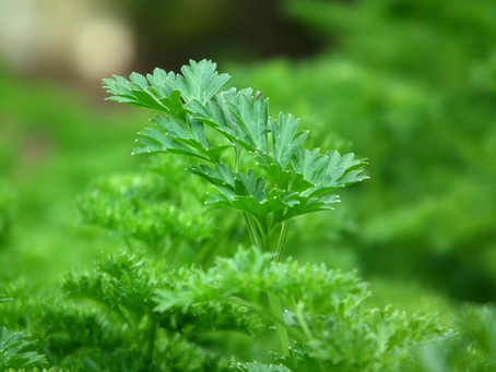 Parsley Pleases Both Pollinators and Your Palate