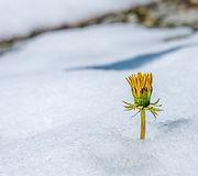 dandelion in snow-3293049.jpg