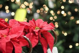Poinsettias! Live Holiday Color