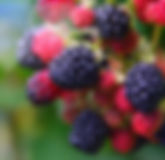 blackberry_fruit-3062683.jpg