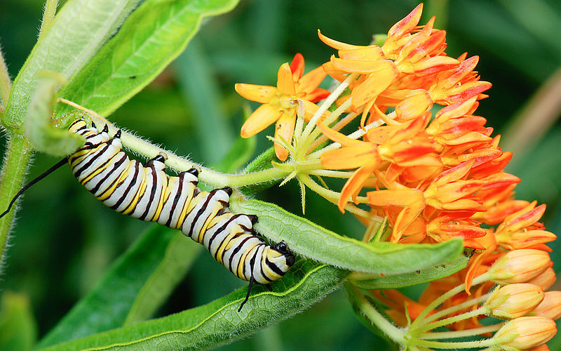 Monarch caterpillar eating Butterfly Weed