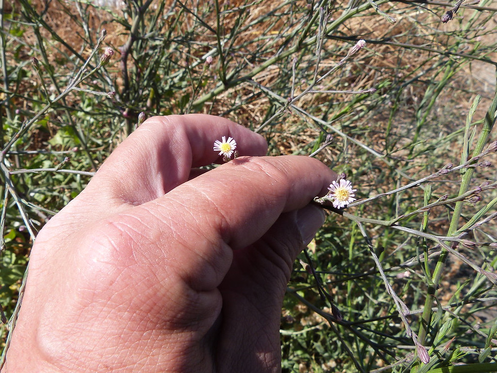 wild Aster flower