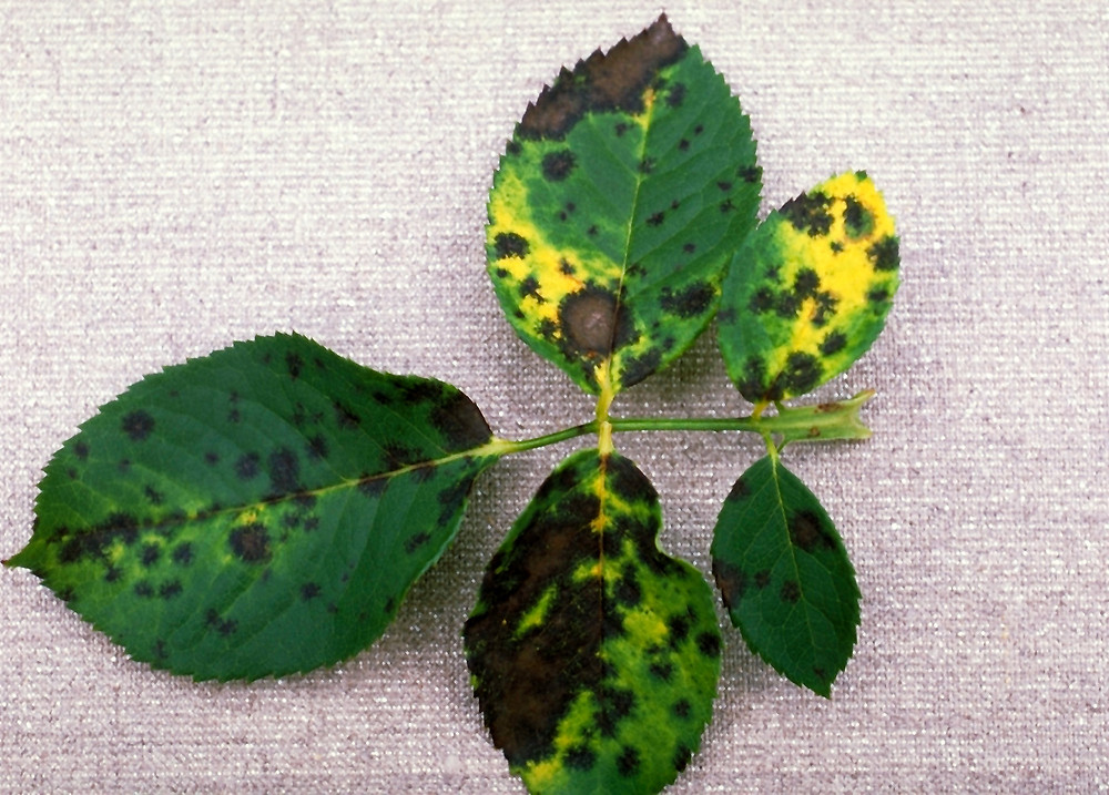 Rose leaves infected with Black Spot