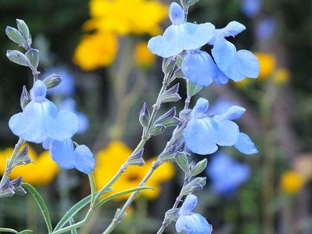 SKY BLUE SAGE ATTRACTS NATIVE BEES & BUTTERFLIES