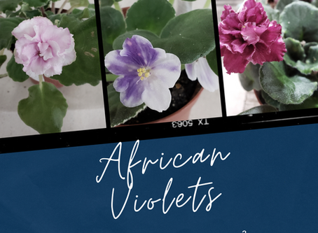 The Basics of African Violet Care
