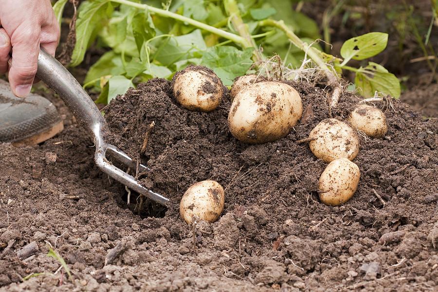 Hharvesting potatoes