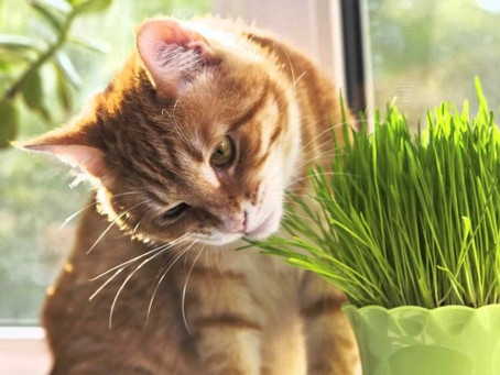 SHOULD I GIVE MY CAT WHEATGRASS OR CAT GRASS?