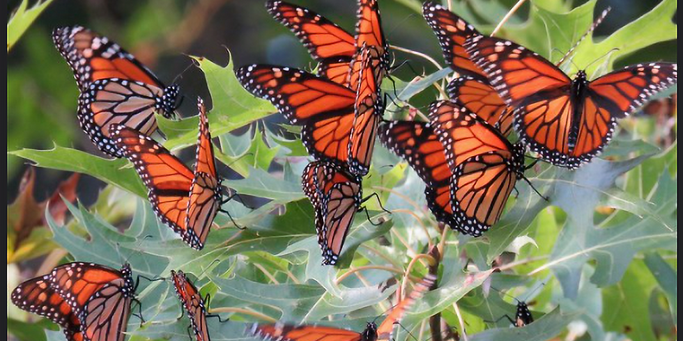 24th Annual Grapevine Butterfly Flutterby