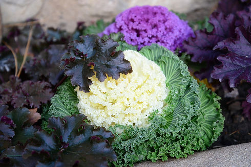 ornamental-kale-4949844.jpg