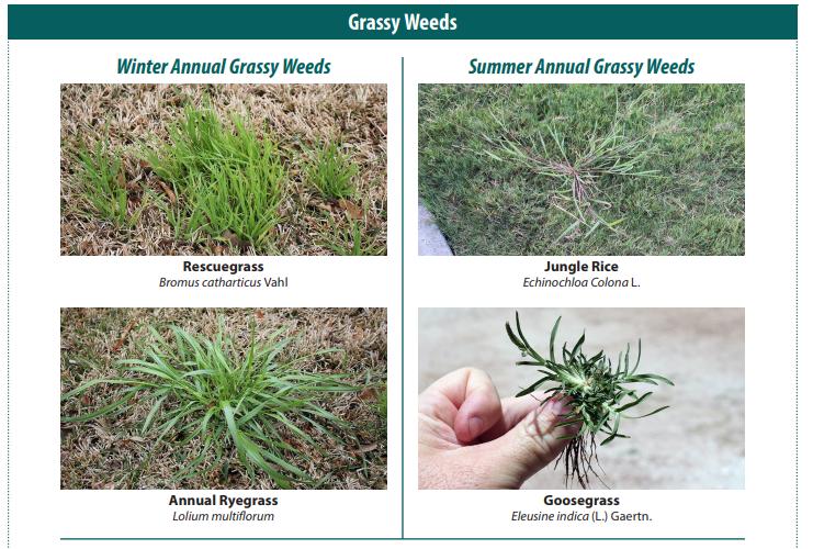 Grassy weeds comparison --agrilifeextension.tamu.edu